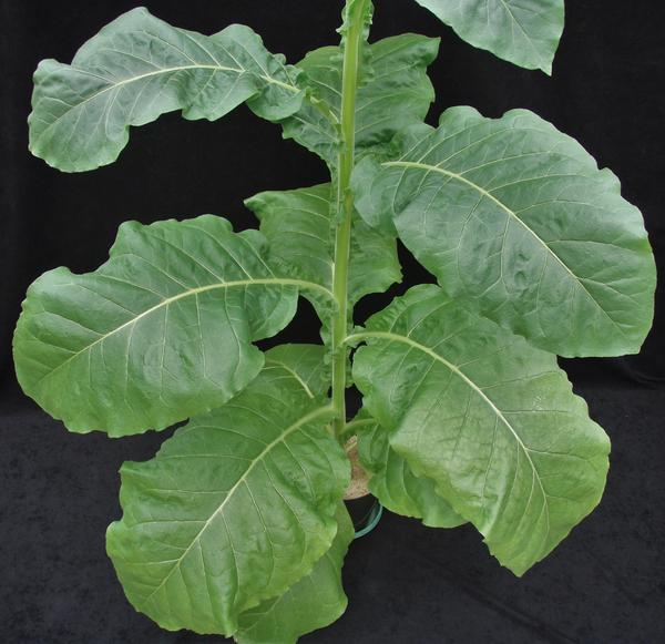 Thumbnail image for Tobacco - Magnesium (Mg) Deficiency